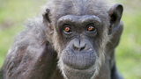 Photo of chimpanzee Fimi at Hamilton Zoo