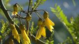 Photo of a Kowhai flower