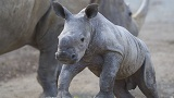 Photo of a rhino calf
