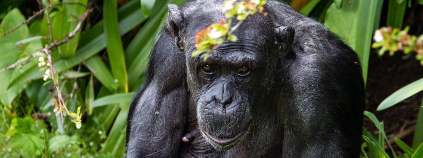 Image of Sally the chimpanzee