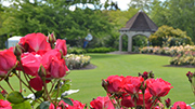 Hamilton Gardens' roses due for annual prune