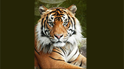 Decision made on Sumatran tiger Oz