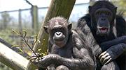 Baby chimpanzee expected at Hamilton Zoo