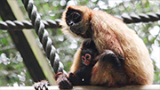 Spider monkey arrival marks Chinese New Year at Hamilton Zoo