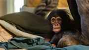 Hamilton Zoo's baby chimp needs a name