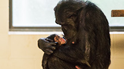 Hamilton Zoo's baby chimpanzee named