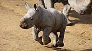 Hamilton Zoo rhino calf named